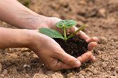foto of marrow  - seedling of vegetable marrow with soil in women hands - JPG