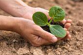 image of marrow  - women hands holding seedling of vegetable marrow with soil - JPG