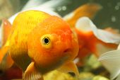 Lion Head Goldfish