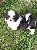 foto of dog breed shih-tzu  - an adorable shih tzu puppy standing in the grass outside - JPG