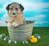 stock photo of tub  - Sweet little puppy sitting in a bath tub outdoors with bubbles and a rubber ducky around him along with copy space - JPG