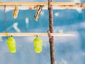 foto of stick-bugs  - image of Butterfly Pupa hang on wooden stick - JPG
