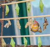 picture of stick-bugs  - image of Butterfly Pupa hang on wooden stick - JPG