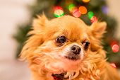stock photo of long hair dachshund  - Long Haired Chihuahua at Christmas in front of tree with lights. ** Note: Shallow depth of field - JPG