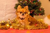 image of long hair dachshund  - Long Haired Chihuahua at Christmas in front of tree with lights. ** Note: Visible grain at 100%, best at smaller sizes - JPG
