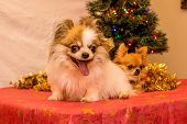 stock photo of long hair dachshund  - Long Haired Chihuahua at Christmas in front of tree with lights. ** Note: Visible grain at 100%, best at smaller sizes - JPG