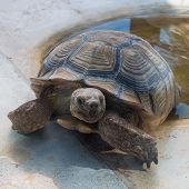 pic of testudo  - Tortoise out of the water  - JPG