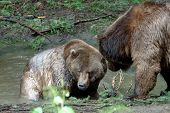 foto of mating bears  - Grizzly bears couple conversing with each other