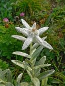 Edelweiss (Leontopodium Pallibinianum)