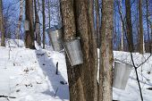 pic of maple syrup  - A syrup farm starts to collect maple syrup from the surrounding maple treas - JPG