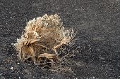 Weathered Flowering Bush In Death Valley California poster