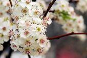 Bradford Pear Tree Blossom