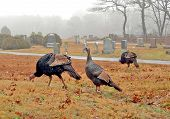 New England Wild Turkeys