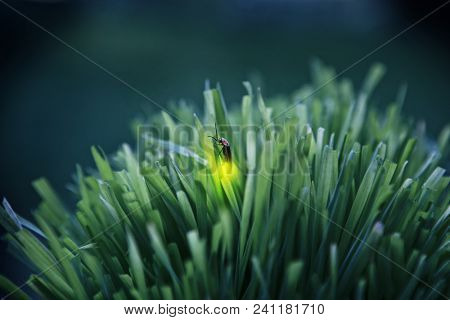 Firefly on grass at dusk