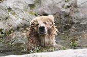 Kodiak Bear Swimming