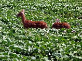 pic of buck teeth  - Young Fawns checking out a Bean Field and finding the Beans very tasty their teeth were just developing - JPG