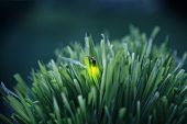 Firefly on grass at dusk poster