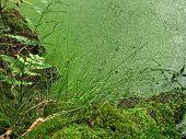 Duckweed Overgrown Tarn Detail
