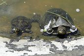 Close Ups View Of Two Turtles. The European Pond Turtle (emys Orbicularis), Also Called The European poster