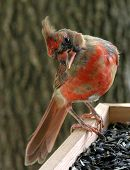 picture of cardinal-bird  - Cardinalwith curious expression - JPG