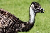 Neck and Head of an Emu
