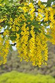 Yellow acacia. Lat.Caragána arboréscens