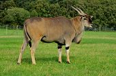 stock photo of eland  - An eland - JPG
