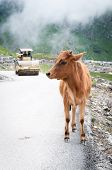 Calf and roller compactor on mountain road