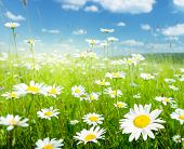 stock photo of daisy flower  - field of summer flowers - JPG
