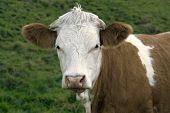 Retrato de Shirley vaca marrom e branco