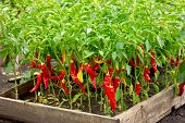 Chili Peppers Growing Plants - Chili Pepper, Hot Pepper, Korean Hot Pepper, Red Pepper poster