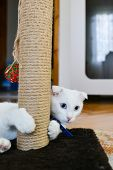 White cat with blue eyes scratching her paws at the scratching post poster