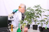 Cannabis and Marijuana Research Lab. Scientist researches Marijuana and Cannabis in a laboratory wit poster