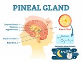 Pineal Gland Anatomical Cross Section Vector Illustration Diagram With Human Brains. Medical Informa poster