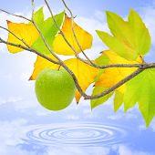 Manzana verde en otoño.