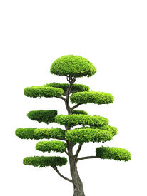 image of bonsai tree  - An asian style ornamental green tree in isolation - JPG
