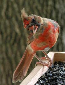pic of cardinal-bird  - Cardinalwith curious expression - JPG