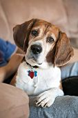 Beagle Dog On The Couch