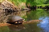 Blandings Turtle Basking On Log