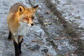Fox Vulpes Vulpes In The Woods On Winter Frozen Road. Wild Red Fox In Natural Habitat. Portrait Of C poster