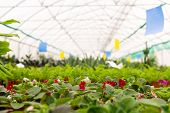 Blurred Interior Of An Industrial Floriculture Greenhouse With Flowers In The Foreground poster