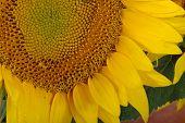 Detail of a sunflower