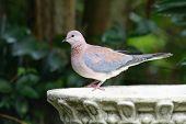 Dove On Birdbath