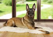 Pedigree Belgian Shepherd Dog Malinois Dog Lying On A Fur Rug On The Living Room Floor On The Backgr poster