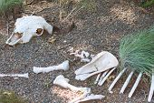 Skeletal remains of a large animal