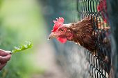 hen in a farmyard (Gallus gallus domesticus)