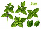 Set Of Isolated Mint Leaves Or Peppermint Leaf, Green Spearmint Foliage Or Menthol Herb, Plant Sprig poster