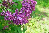Lilac Flowers With Green Blurred Background. Branches Of Blossoming Purple Lilac On Springtime Backg poster