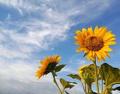 Beautiful Sunflowers Blossom On White Clouds And Bright Blue Sky Background. Nature Skyscape Backgro poster