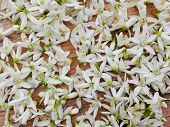 Spring Citrus Flowers Blossom Pattern Background. White Fresh Citrus Orange Or Mandarin Tree Flowers poster